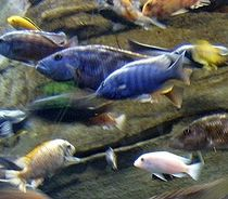 Fish food pellet 40 22 lb koi oscar cichlid pacu tropical for Oscar fish food