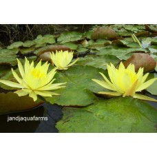Three Small Yellow Water Lilies