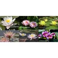 Grab Bag Water Lilies