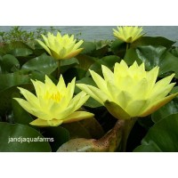 Large Yellow Water Lily