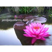 Mayla Water Lily