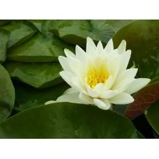 Odorata (White) Water Lily