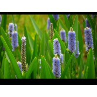 Pickerel Weed
