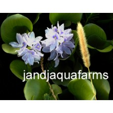 Water Hyacinth 100